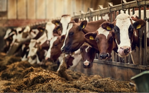 Alimentation pour bétails